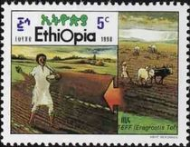 Ethiopia 1990 Cultivation of Cereal Teff a.jpg