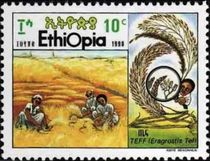 Ethiopia 1990 Cultivation of Cereal Teff b.jpg